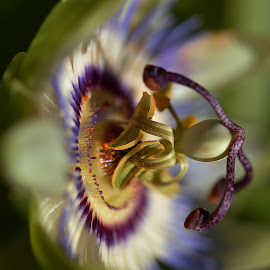 Passion Flower by Franco Salis - Flowers Single Flower