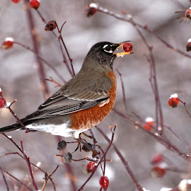 American Robin by Gosha L - Uncategorized All Uncategorized