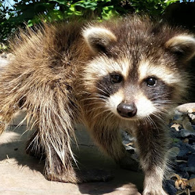 Baby Raccoon  by Anthony Carlo - Animals Other (  )