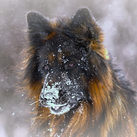Kaizer the German sheperd in snow by Roald Heirsaunet - Animals - Dogs Portraits