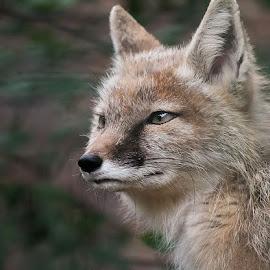 Fox by Aleksander Cierpisz - Animals Other Mammals