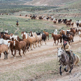 Great American Horse Drive by Gwen Paton - Animals Horses ( horses, cowboys, horse drive, colorado, craig colorado,  )