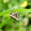 Two-tubercled Orb-web Spider