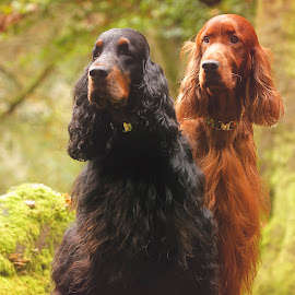 Misty and Rohan the kings of Enmore woods by Ken Jarvis - Animals - Dogs Portraits ( gordon setter, autumn, irish setter, irish, woods )