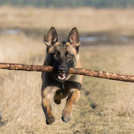 My dog Jody  by Wendy Chlum - Animals - Dogs Running ( dog, running )