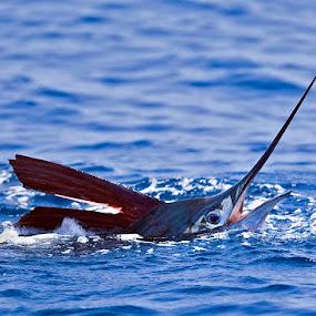 by Herb Houghton - Animals Fish ( marlin, pacific sailfish, sailfish, billfish, pelagic, animal, motion, animals in motion, pwc76 )