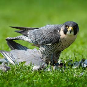 Hawk and his prey by Leticia Cox - Animals Birds (  )
