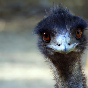 Emu by Kevin Sullivan - Animals Birds ( emu, alabama )