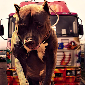 PITtBUll COOl by Diro Jiyuu - Animals Other