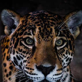 The Jaguar by Ryan Snow - Animals Lions, Tigers & Big Cats