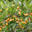 orange fruiting tree