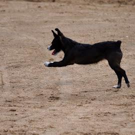 Pounce by Savannah Eubanks - Animals - Dogs Playing ( dog, running )