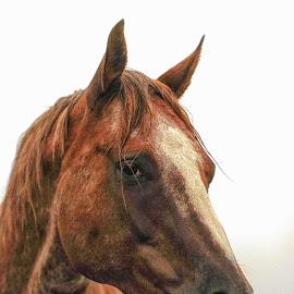 Horse Head Portrait - Hoot by Twin Wranglers Baker - Animals Horses