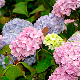 Hydrangea by Ingrid Anderson-Riley - Flowers Flower Gardens