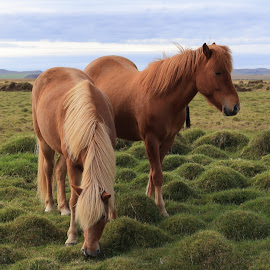 Horses on Iceland by Micke Wallman - Animals Horses ( iceland, autumn, horse, landscape, animal )