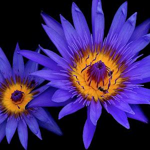 Sept 17 lotus flowers.jpg