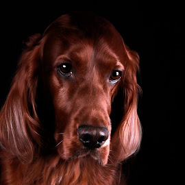 Look inside yourself, you are more than what you have become. by Ken Jarvis - Animals - Dogs Portraits ( studio, irish setter, dog portrait, setter, irish, dog, portrait )