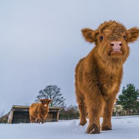 Highland Calf by Nigel Bishton - Animals Other Mammals