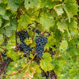 Grapes by Laviniu Cojocaru - Nature Up Close Gardens & Produce