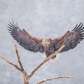 A Majestic Sea Eagle by Sami Rahkonen - Animals Birds ( wild animal, wild, eagle, bird of prey, snowstorm, majestic, wildlife, forest, storm, eagles, bokeh, birds, bird, wilderness, winter, nature, tree, snow, animal )