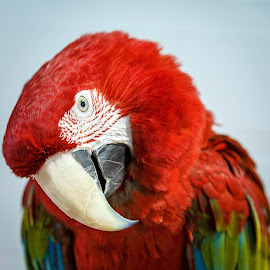 Shy Parrot by Carol Plummer - Animals Birds