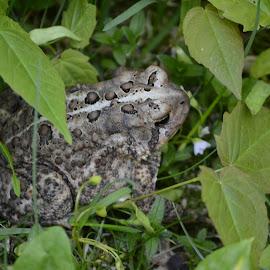 My Prince? by Tina Tippett - Animals Amphibians ( animals, wildlife photography, amphibians,  )