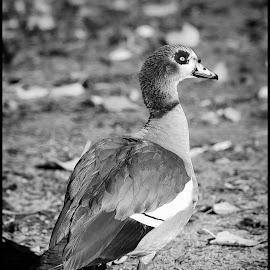 Egyptian Goose by Dave Lipchen - Black & White Animals ( egyptian goose )