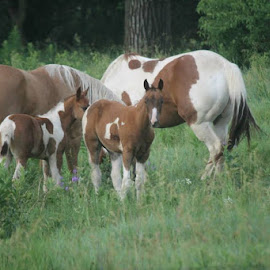 Paint Family by Bonnie Burgeson - Animals Horses