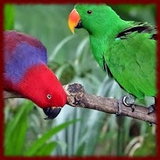 Lovebird Parrots wallpapers