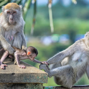 Don't Go Dad by Irwansyah St - Animals Other Mammals ( animals, family, padang, indonesia, pwcmovinganimals, monkey )