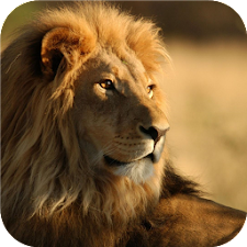 Lions. Animal wallpapers