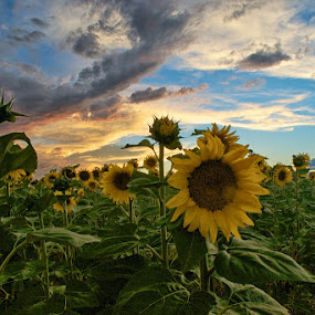 Sunflowers at sunset by Heather Diamond - Nature Up Close Gardens & Produce