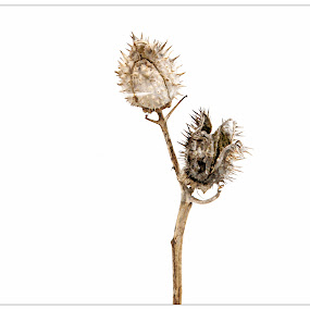 Winter Dry by Alice Gipson - Flowers Flowers in the Wild ( dried pod, alicegipsonphotographs, flower )