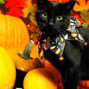 by Brandi Nichols - Public Holidays Halloween ( cat, halloween )