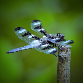 Just holding on by Sue Delia - Animals Insects & Spiders ( wild, hold on, four legs, nature, twig, dragonfly,  )