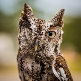 WINK! by Ken Wagner - Animals Birds ( screech owl, boyd hill, raptorfest, nikon, st pete )