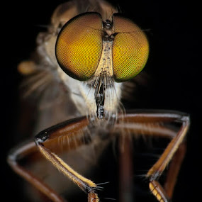 Liliput Robberfly by Prana Jagannatha - Animals Insects & Spiders ( macro, wildlife, insect, robberfly )