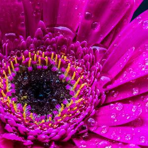 Untitled1edited,macro,flower,purple,water,drops.jpg
