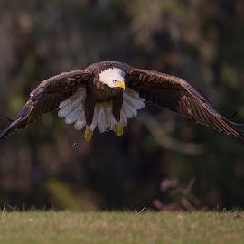 Ever Watchful by Lynn Kohut - Animals Birds ( bird, flying, eagle, nature, bald eagle, nature up close, wildlife, raptor )
