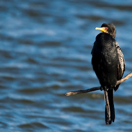 Reed Cormorant by Graham Traas - Animals Birds ( wild bird, cormorant, south africa, rietvlei, reed cormorant, perching )