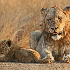 Father and Son by Johann Harmse - Animals Lions, Tigers & Big Cats ( big cats, nature, loin, lions, lion cub,  )