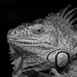 Iguana by Jack Lewis McClure - Animals Reptiles ( lizard, black and white, iguana, reptile, close up )