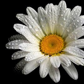 by Joško Šimic - Flowers Single Flower