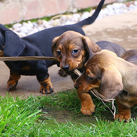 First Tug-O-War by Chrissie Barrow - Animals - Dogs Puppies ( tails, grass, pup, play, tug-o-war, eyes, red, pet, ears, dachshund (miniature smooth), puppy, legs, dog, tan, black )