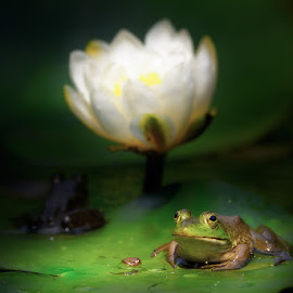 Frogs by Roberto Melotti - Animals Amphibians ( american bullfrog, roberto melotti, frog, white, nikon d7100, leaf, leaves, lithobates catesbeianus, rana catesbeiana, bullfrog, rana toro, frogs, italy, flower )
