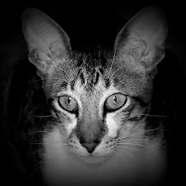 House Cat by Sue Delia - Animals - Cats Portraits ( domesticated, cat, black and white, rescue, tabby )