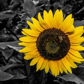 Sunflower by Greg Bennett - Flowers Flower Gardens ( black and while, il, o'fallon garden club, yellow, garden, flower garden, sunflower, o'fallon )