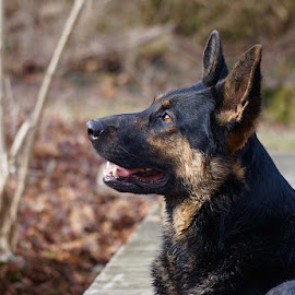 GSD by Ginny Wright Askins - Animals - Dogs Portraits ( outdoor, bridge )
