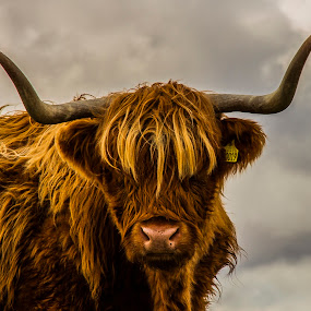 Highland Cow  by Gordon Bain - Animals Other Mammals ( highland cow, scottish highlands . )