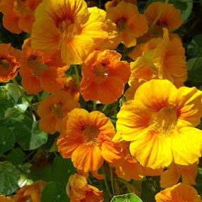Nastursiums  by Charlotte Burnett - Nature Up Close Gardens & Produce